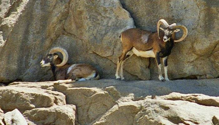 Mouflon on a rock