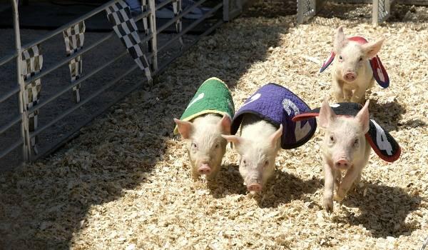 Pig Festival France