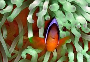 clownfish red sea