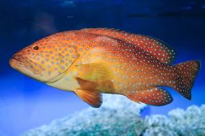 coral grouper red sea