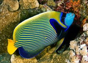 emperor angelfish red sea