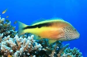 hawkfish red sea