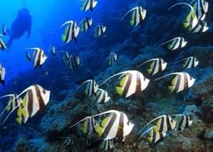 longfin bannerfish red sea