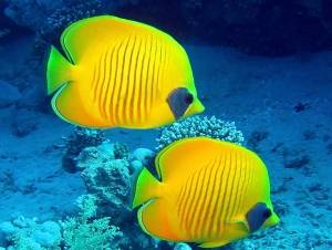 masked butterfly fish red sea