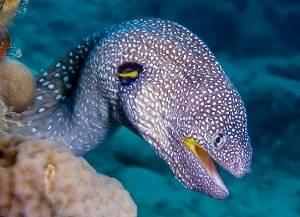 moray eel red sea