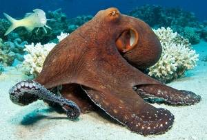octopus red sea