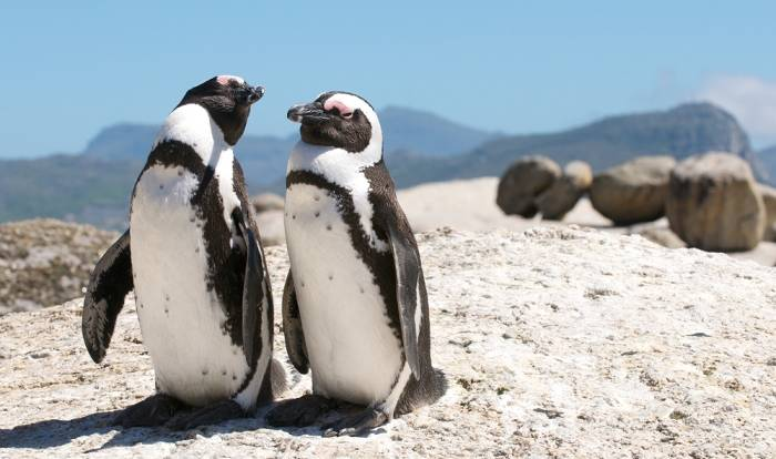 penguins, boulder's beach