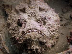 stonefish red sea