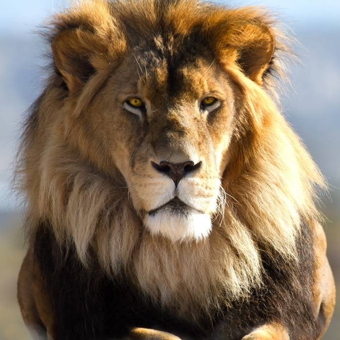 Lion staring intently