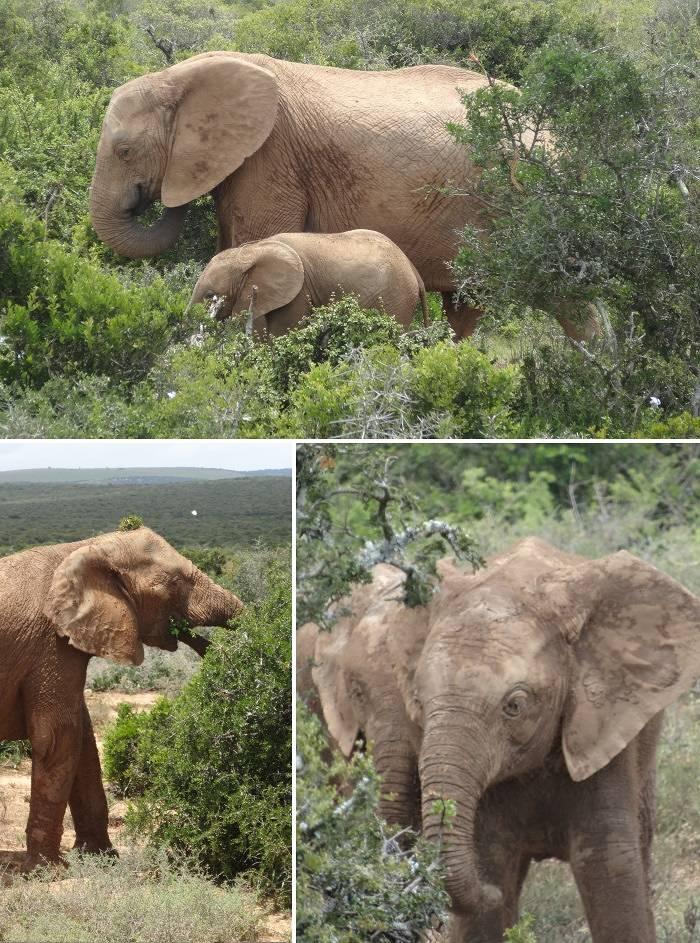 Elephants feeding at Addo