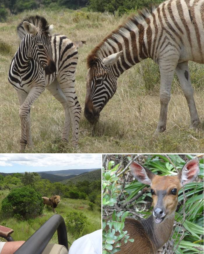 Lion and Zebra at Kariga Game Park