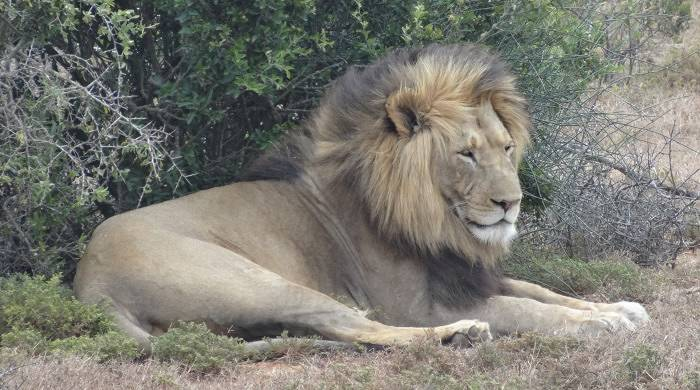 Lion at Addo