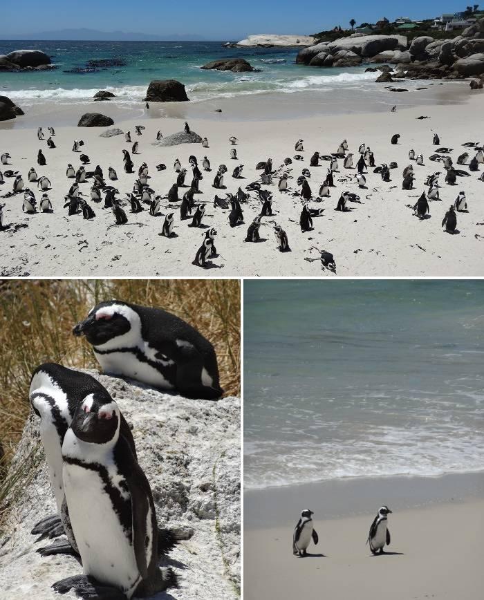 Lots of penguins at Boulders Beach