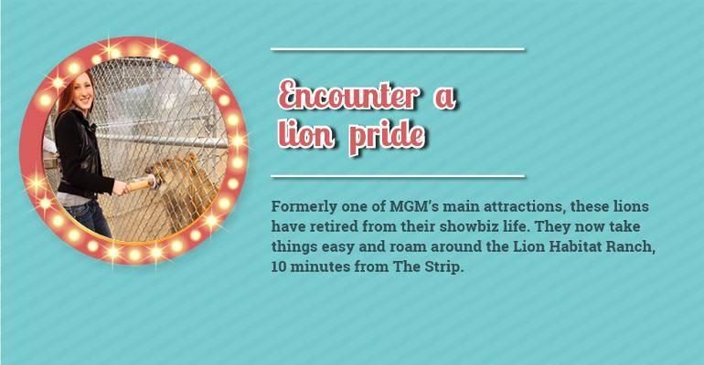 Encounter a Lion Pride