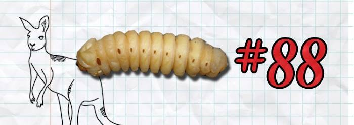 #88 Witchetty grub