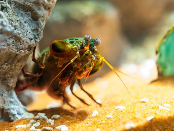 Mantis Fish