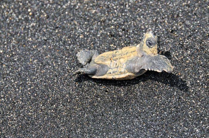baby turtle on a black sand beach
