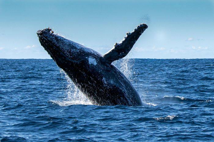 A humpback whale leaping out of the water
