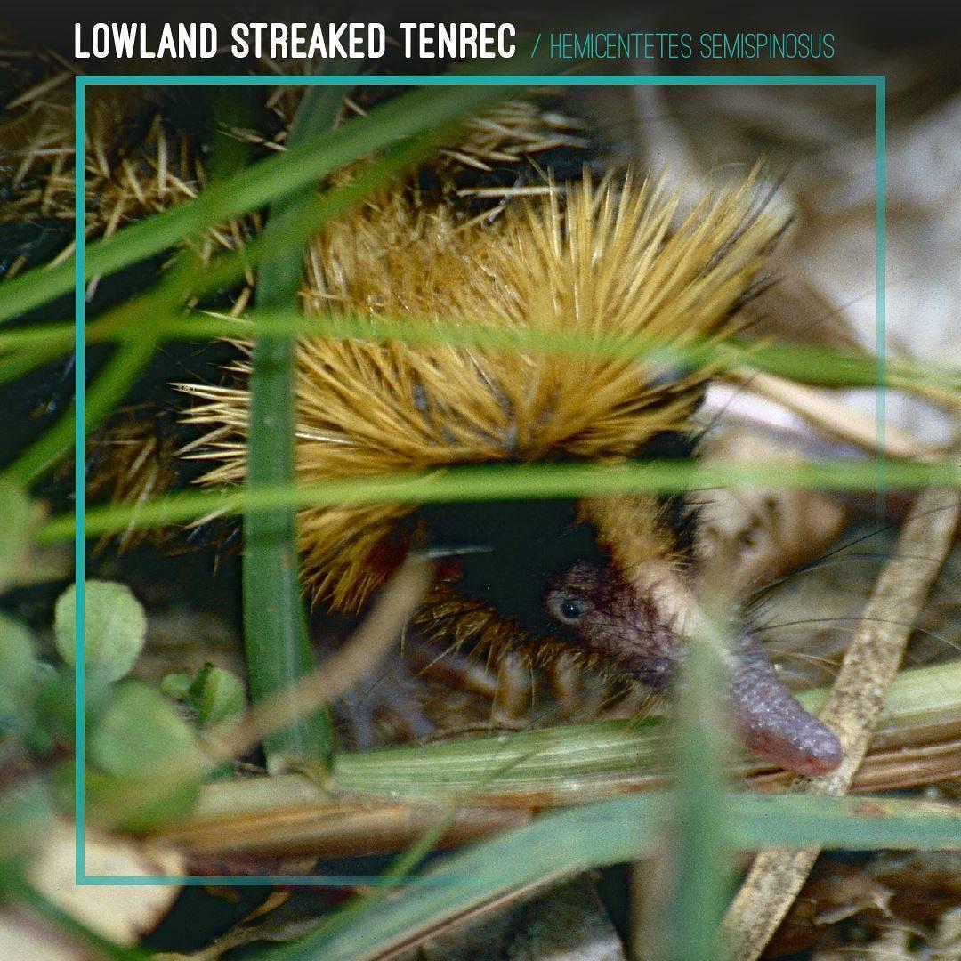 Lowland Streaked Tenrec