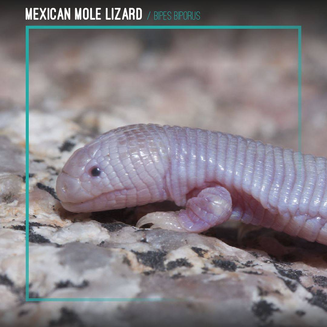 Mexican Mole Lizard