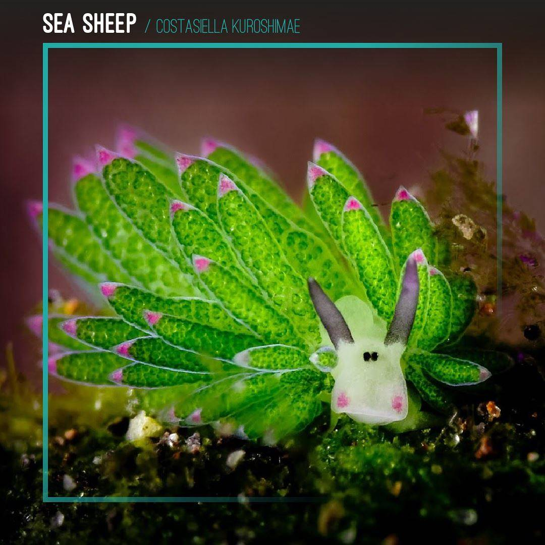 Sea Sheep
