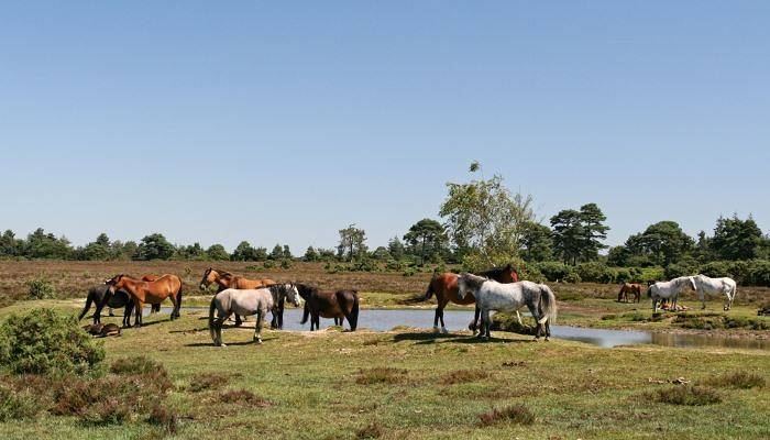 Ponies Roaming the New Forest