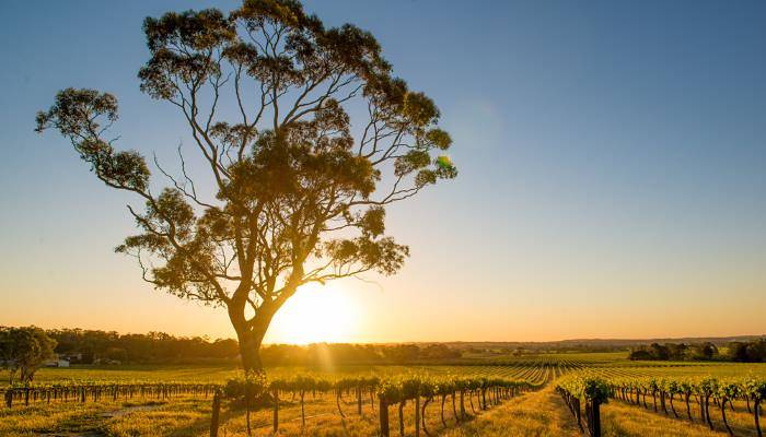 picture of barossa's vineyards