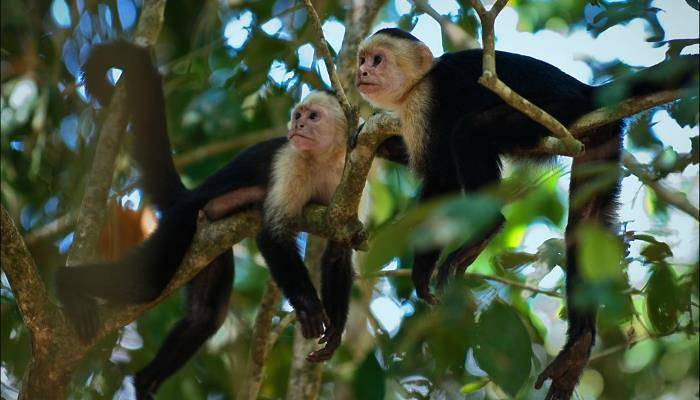 picture of capuchin monkey