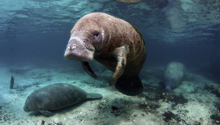 picture of a manatee