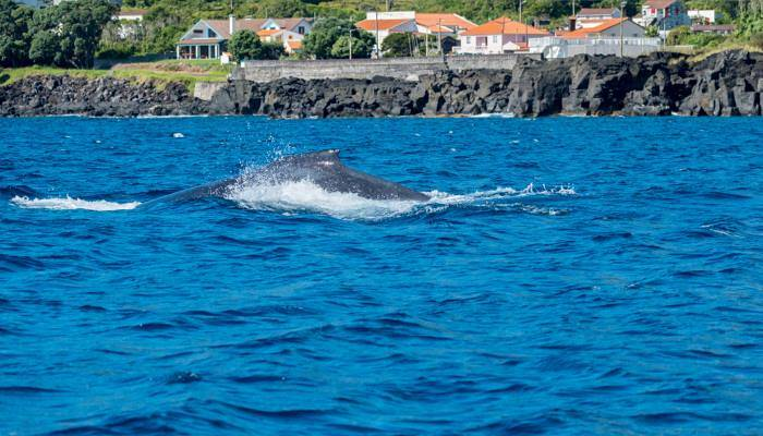 picture of a whale in the Azores