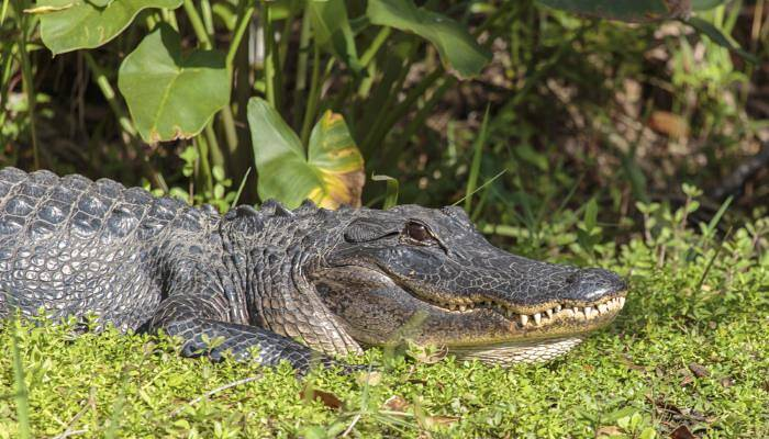 picture of an alligator in Florida
