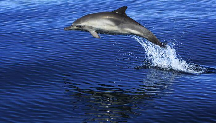 picture of a dolphin jumping