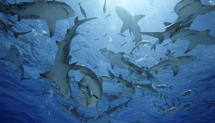a picture of lemon sharks