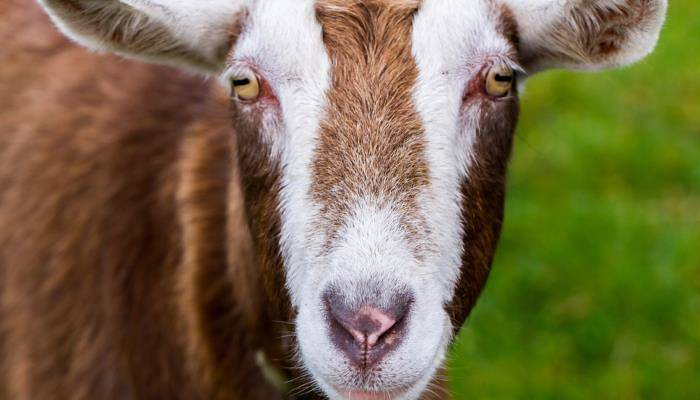 picture of a goat
