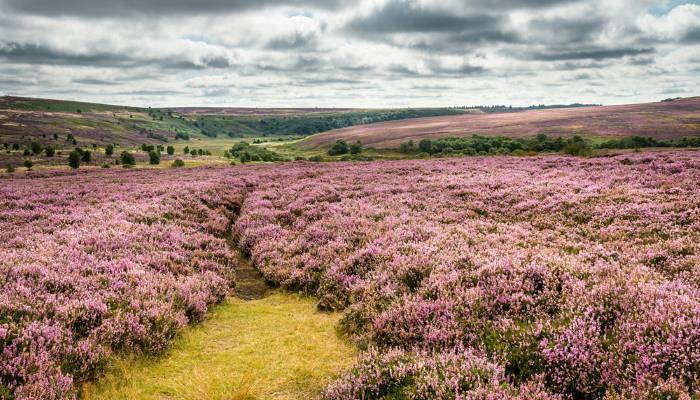 a picture of pink heather on the Yorkshire Dales