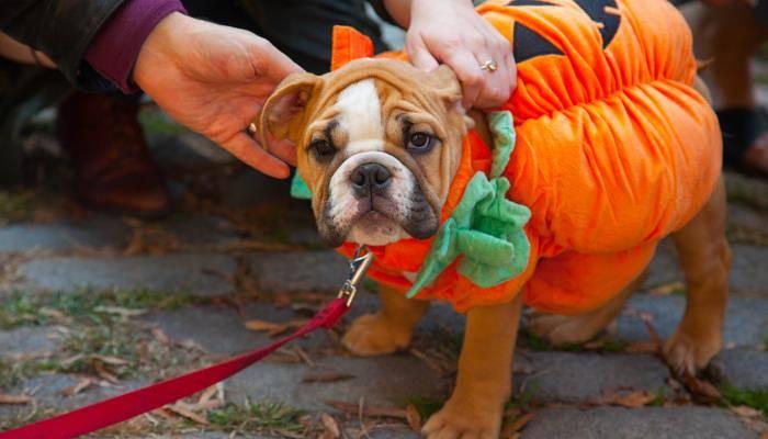 a dog dressed as a pumpkin