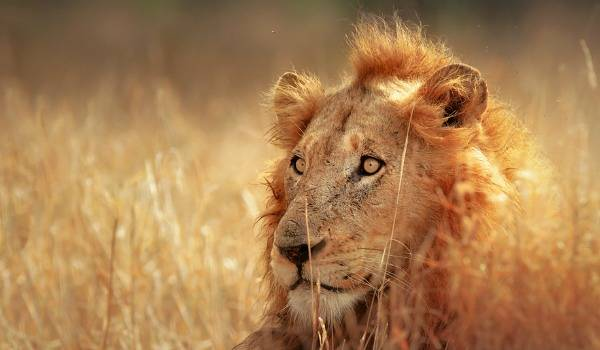 safari - lion